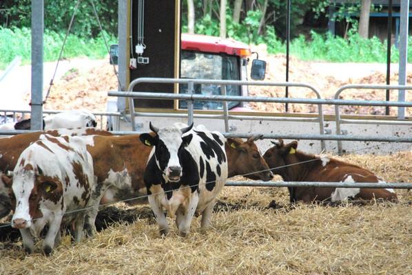 De potstal is een mooi systeem om dieren een droge plek te geven, goede stalmest te krijgen voor een gezonde bodem en toch niet teveel werk te hebben met uitmesten: steeds een nieuw laagje stro en een of twee keer per jaar met de trekker erbij.