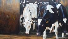Koeien Marcel Noordman